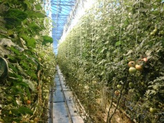rows upon rows of tomatoes